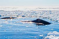 bowhead whale, balaena mysticetus, among ice floe edge, Baffin Island, Nunavut, Canada, Arctic Ocean