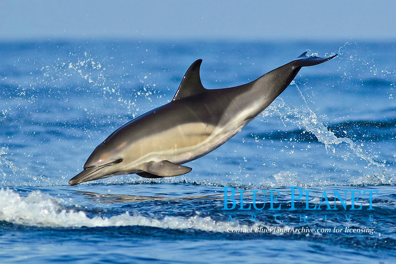 Short-beaked Common Dolphin (Delphinus delphis), adult, leaping from sea, Algarve, Portugal, Europe
