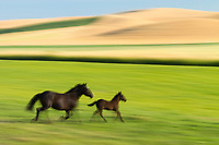 A mother and her foal run through a Springtime field.