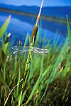 Dragonfly on a cattail