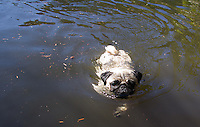 Pug dog swimming.