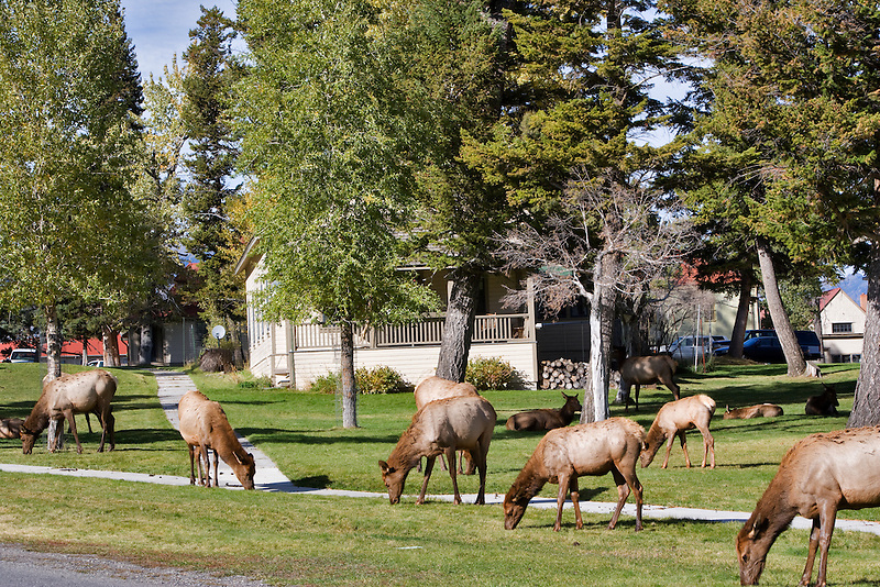 Elk in Mammoth Hot Springs. Yellowstone National Park, WY