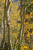 """A fine art nature image of aspen trunks with golden leaves found in the Sonora Pass of the California Sierra Nevada mountains.  A hint of blue sky shines through the golden color of the fall foliage.  This image pairs well with """"Sonora Pass Aspen with Rock."""""""
