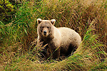 Alaska, Grizzly Bear - cub