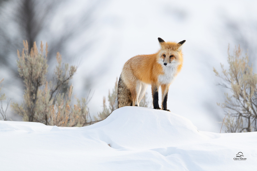 Red Fox (Vulpes vulpes), running along the ridge, takes a moment to assess the situation before moving on.  What it saw was about a dozen photographers standing on the side of the road below.  The fox, clearly a veteran of the Yellowstone human invasions, simply ignored all of us and proceeded to hunt.
