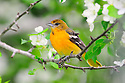 00865-029.03 Baltimore Oriole female is perched in a crab apple tree with white blooms. Spring, orange, landscape, backyard.