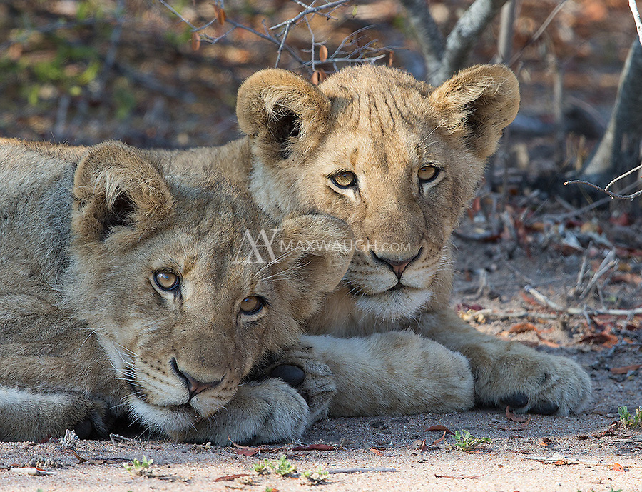 Lion cubs rest late one morning in MalaMala.