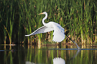 Great Egret (Ardea alba), adult taking off, Sinton, Corpus Christi, Coastal Bend, Texas, USA