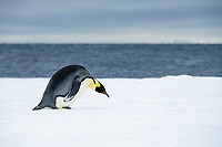 Snow Hill Island, Antarctic. Emperor Penguin about to toboggan.