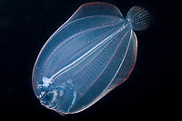 lefteye flounder, larva, plankton, offshore, at night,, Kona Coast, Big Island, Hawaii, USA, Pacific Ocean