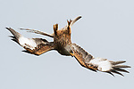 Red kite flies upside down as it dives for food by Mark Rolph