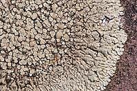 Mauer-Flechte, Mauerflechte, Lecanora muralis, Protoparmeliopsis muralis, Krustenflechte auf Dachziegel