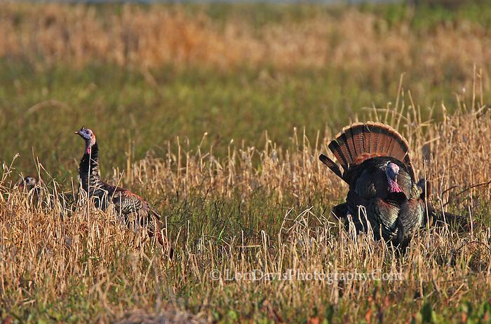 Wild Turkeys in Field  #B58