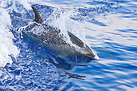 Pantropical Spotted Dolphin, Stenella attenuata, wake-riding, matured adult with white or light pink beak tip, off Kona Coast, Big Island, Hawaii, Pacific Ocean.