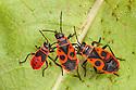 Fire Bugs {Pyrrhocoris apterus}, Nomandy, France. July.