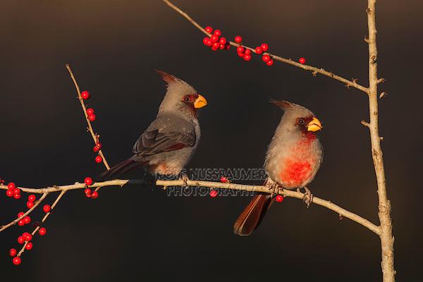 Pyrrhuloxia (Cardinalis sinuatus), males eating Possum Haw Holly (Ilex decidua) berries, Starr County, Rio Grande Valley, South Texas, USA