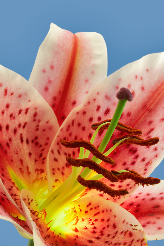 Star Gazer Lily close up.