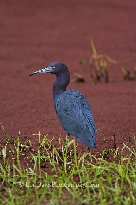 Little Blue Heron on Mud Flats #H30