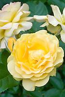 Rosa 'Sunshine Daydream' grandiflora rosesyellow flowers