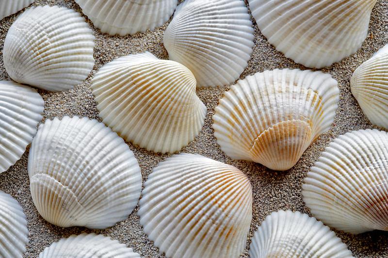White Ark sea shell and beach sand.