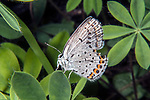 karner blue butterfly female sitting on wild lupine side view, concord, new hampshire