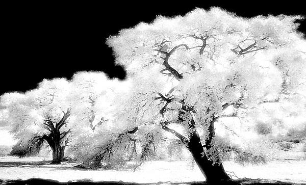 Cottonwoods of the Rio Grande
