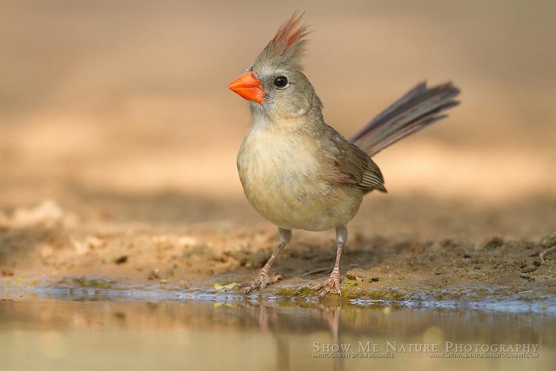 Female Northern Cardinal at waterhole