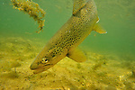 Underwater brown trout on the Bighorn River, Fort Smith, Montana