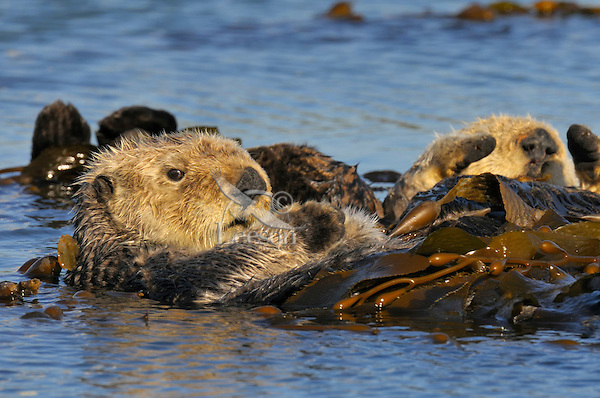 Sea Otters (Enhydra lutris) resting while wrapped in kelp.
