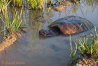 0611-0915  Snapping Turtle Exploring Pond Edge, Chelydra serpentina  © David Kuhn/Dwight Kuhn Photography