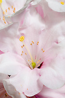 Rhododendron 'Avalanche' AGM pink flower with closeup macro of pistils and stamens sexual pollination plant parts organs
