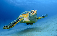 green sea turtle, Chelonia mydas, endangered species, Dimakya Island, Palawan, Philippines, South China Sea, Indo-Pacific Ocean