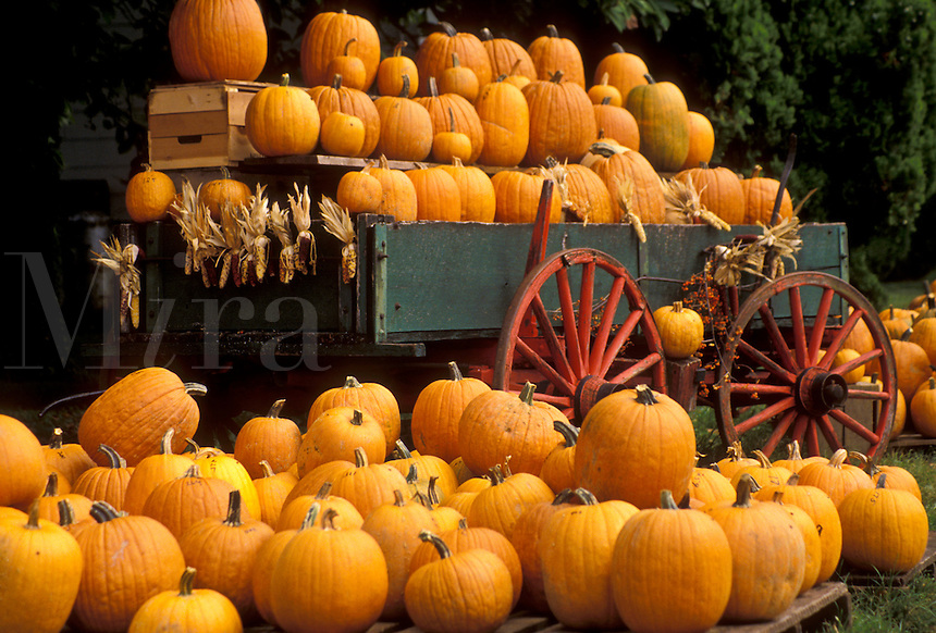AJ3041, pumpkins, wagon, Lancaster County, Pennsylvania, Pennsylvania Dutch Country, A large display of pumpkins piled in a wagon and on the ground in the fall in Intercourse in the state of Pennsylvania.