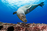 Hawaiian monk seal, Neomonachus schauinslandi, endemic species, critically endangered, Lehua Rock (near Niihau Island), Hawaii, USA, Pacific Ocean