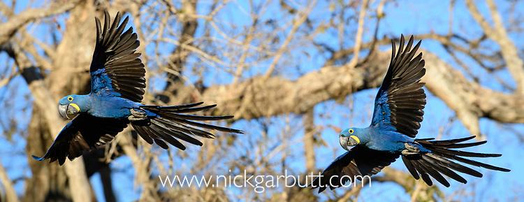 A pair of hyacinth macaws (Anodorhynchus hyacinthinus) in flight. Pousada Araras Lodge, Nothern Pantanal, Mato Grosso, Brazil. September.