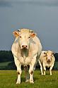 13/06/11 - CONDROZ - BELGIQUE - Troupeau allaitant de race Blanc Bleu Belge - Photo Jerome CHABANNE