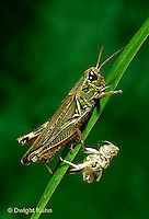 OR03-031z  Grasshopper - molted skin - redlegged grasshopper - Melanoplus spp.