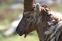 Detail view of the head of a capra ibex