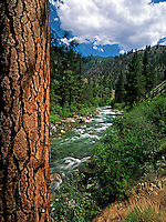 A stately ponderosa pine tree gives solid visual support to the flowing waters of Loon Creek which is a tributary of the Middle Fork of the Salmon River in Idaho
