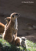 0329-1020  Meerkat with Baby (Pup), Suricata suricatta  © David Kuhn/Dwight Kuhn Photography.