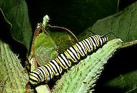 MO02-003z  Monarch Butterfly - caterpillar on milkweed - Danaus plexippus