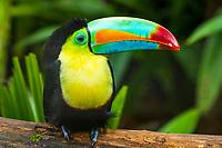 keel-billed toucan, sulfur-breasted toucan, or rainbow-billed toucan, Ramphastos sulfuratus, Costa Rica