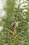 Anna's Hummingbird.Calypte anna.at the Sepulveda Wildlife Area.Los Angeles, Ca. May 25, 2008. Fitzroy Barrett