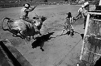 A rodeo clown tries to attract the attention of a bull during a bullride at the annual Lincoln Rodeo in Lincoln, MT in June 2006.  The Lincoln Rodeo is an open rodeo, which means competitors need not be a member of a professional rodeo association.