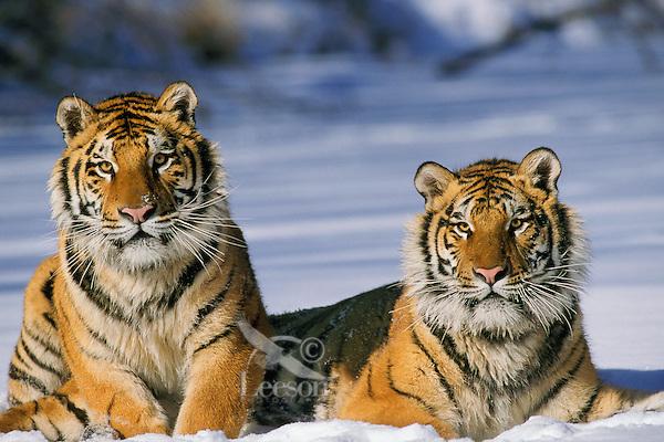 4MR1095  Siberian Tiger Pair in snow. (cap)