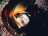 Port Jackson shark, Heterodontus portusjacksoni, pup, emerging from its spiral-shaped, hard, egg case, Edithburgh, South Australia, Australia