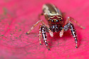 Jumping Spider {Salticidae} Central Caribbean foothills, Costa Rica. May.