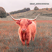 Assaf, ANIMALS, REALISTISCHE TIERE, ANIMALES REALISTICOS, photos,+Animal, Animals, Cattle, Cow, Cows, Highland, Highland Cattle, Highland Cows, Photography, Scotland, Splash of Colour, Spot C+olor, Spot Colour, animal, creature, creatures, zoology,Animal, Animals, Cattle, Cow, Cows, Highland, Highland Cattle, Highla+nd Cows, Photography, Scotland, Splash of Colour, Spot Color, Spot Colour, animal, creature, creatures, zoology++,GBAFAF20180824A,#a#, EVERYDAY