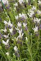 Lavandula stoechas 'Little Bee White' = 'Florvendula White' (Little Bee series) Spanish Lavender herb in flower