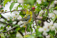 Young Male Northern Parula (Setophaga americana) looking for insects in crab apple tree.  Great Lakes Region.  May.
